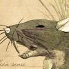 forest rat